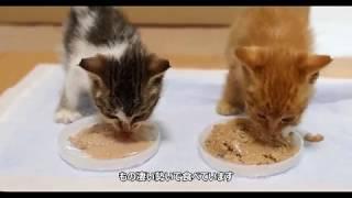 Download 子猫を保護しました Video