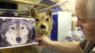 Download Wolf Restoration at Wollaton Hall Video