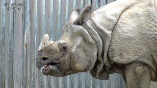 Download サイのセラ君!!(元気な男の子) 東山動物園 Video