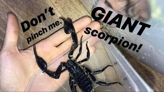 Download My friend gave me a SCORPION and it's HUGE !!! Video