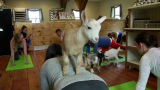 Download 'Goat Yoga' a hit on New Hampshire farm Video