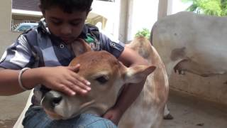 Download Punganur Cow calf Playing with kids Video