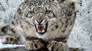 Download Silent Roar The Snow Leopard National Geographic Documentary 2016 HD Video