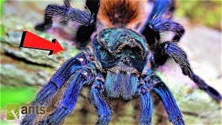 Download World's Most Beautiful Tarantula in Peril Video
