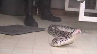 Download Venom extraction from large gaboon vipers (Bitis gabonica rhinoceros) Video