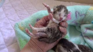 Download 赤ちゃん猫 生後3日目 Video