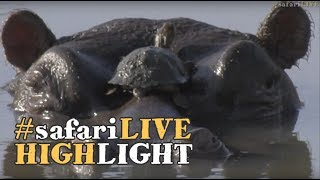 Download Terrapins go for an afternoon joyride on a hippo! Video