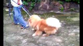 Download Chow Chow Training Video