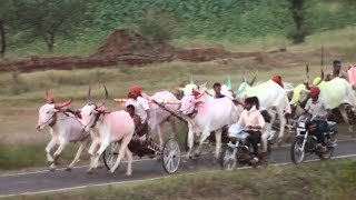 Download Bullock cart race at Tapakarawadi बैलगाडा शर्यत Video