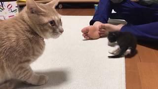 Download 赤ちゃん猫に遠慮していたときのひのきに癒されます Video