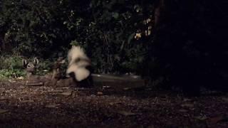Download Backyard Wildlife: Mostly White Big Skunk - Thursday 09-28-2017 Video