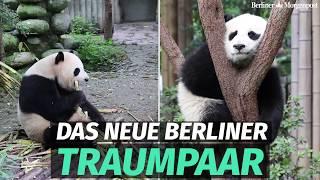 Download Diese beiden Panda-Bären ziehen in den Zoo Berlin Video