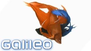 Download Verrückte Tradition: Wettkampf der thailändischen Feuerfische | Galileo | ProSieben Video