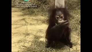 Download Orangutan Infant Redd Explores His Surroundings Video