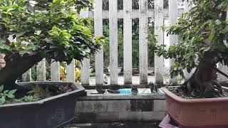 Download HV 211.Nhà vườn bác giáo khá nhiều mai bonsai hoàn thiện và chất lượng 01673004935 Video