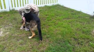 Download German Shepherd sees dad after 7 months Video