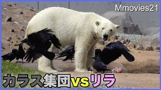 Download カラスの集団から牛骨を守るリラ Polar Bears vs Crows Video