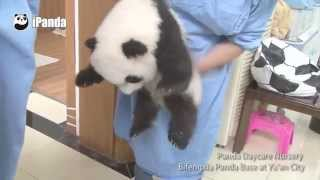 Download What is the happiest job in the world? A panda nanny! Video