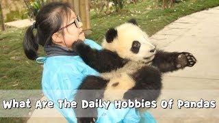 Download What Are The Daily Hobbies Of Pandas | iPanda Video