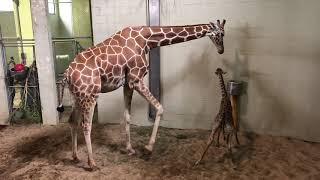 Download Cheyenne Mountain Zoo Giraffe Calf Takes First Steps Video