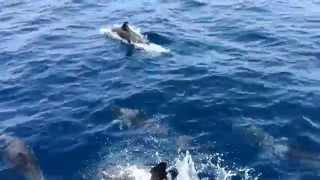 Download 鹿児島の錦江湾のイルカと遊びました Video