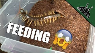 Download FEEDING THE DEVIL | Spiders and Centipede Video