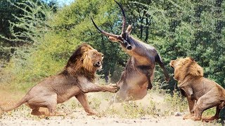Download Wild Animals Fighting - Lion vs Waterbuck - Moments Of Wild Animal Fights Video