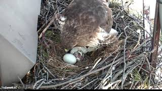 Download Two Eggs Hatching On Cornell Hawks Cam! – April 23, 2018 Video