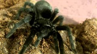 Download My List of Great Tarantulas for Beginners Video