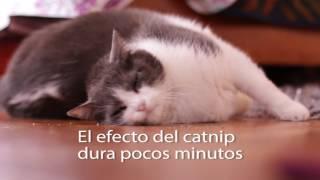Download Gatipedia de PURINA® CAT CHOW® - Catnip o hierba gatuna Video