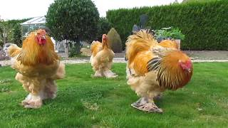 Download Bad boys ... buff columbian brahma roosters born in april Video