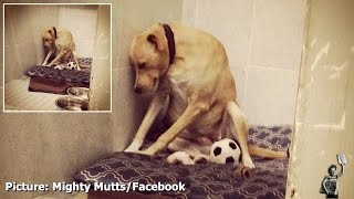 Download Abandoned dog 'shuts down' after being returned to animal shelter by adopted family Video