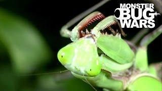 Download Giant Rainforest Mantis Vs Spiny Leaf Insect | MONSTER BUG WARS Video
