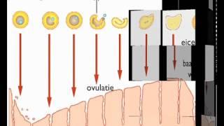 Download Menstruatiecyclus biocast Video