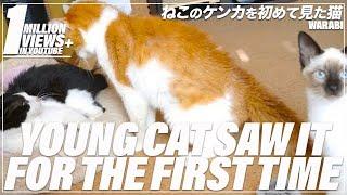 Download ねこのケンカを初めて見た猫 Video