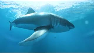 Download 360° Video - Great White Shark Eats our Camera! Video