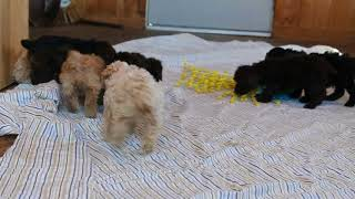 Download Mini Poodle Puppies For Sale Amos Beiler Video