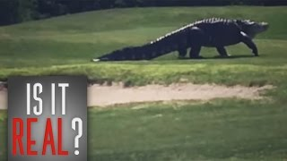Download IS IT REAL?- Giant Gator Walks Across Florida Golf Course | Real Or Fake? Video