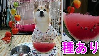Download 柴犬小春 お盆はやっぱり浴衣で『種ありスイカゼリー』【ASMR】 Video
