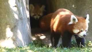 Download Baby red panda twins and their momma! Video