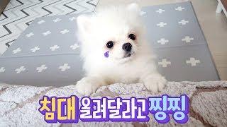 Download 침대 올려달라 찡찡거리는 강아지 🐶 옹알옹알 열심히 재잘거려요 🐥 투머치토커 행성이 Video