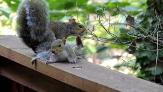 Download Mama Squirrel Rescues Baby Video