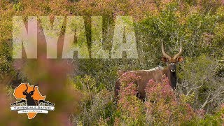 Download Nyala Hunt at Thorndale Safari: Spot & Stalk in the Eastern Cape Video
