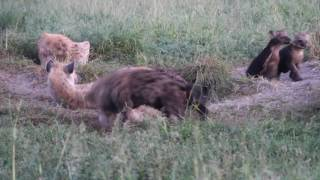 Download Spotted hyena cubs play Video