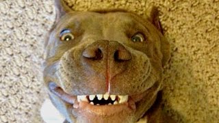 Download Funny Pitbull Compilation NEW Video