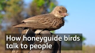 Download How honeyguide birds talk to people Video