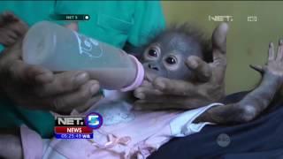 Download Suasana Haru Mewarnai Proses Penyerahan Bayi Orangutan - NET5 Video