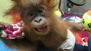 Download Baby orangutan arrives in UK rescue centre - no comment Video