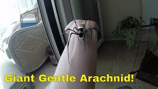 Download Handling and rehousing my Orb-weaver Spider. Video