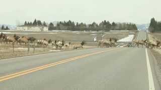 Download Massive herd of elk in Montana Video
